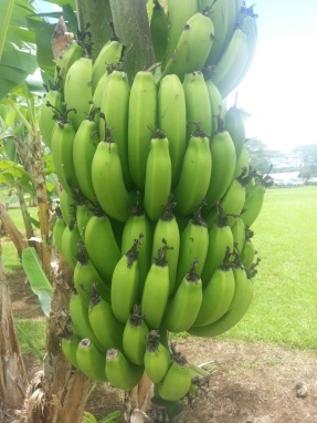 Green Bananas @ Hilo Coffee Mill