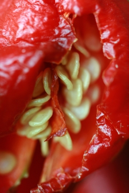 Belly of ghost pepper