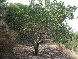 Pistachio Tree (Aegina)