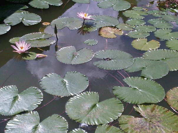 Lotuses at Klungkung
