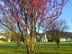 Feb Waimea Cherry Blossom