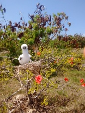 Red footed booby chick in hibiscus
